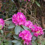 Rododendron Daisy