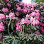 Rododendron Daniela