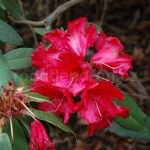 Rododendron Darjeeling Red