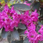 Rododendron Delila