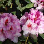 Rododendron Diadem