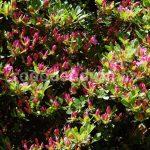 Rododendron Diamant Lachs Rosa