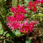 Rododendron Diamant Rot