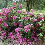 Rododendron Direktor E. Hjelm