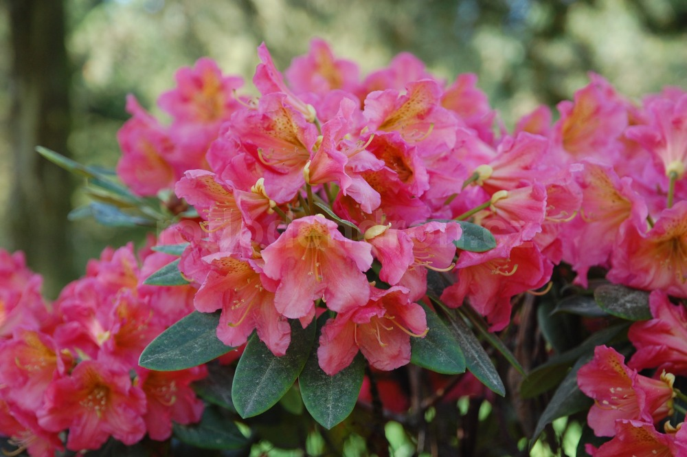 Rododendron Dolcemente