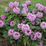 Rododendron Dominik