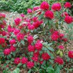 Rododendron Don Juan