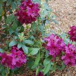 Rododendron Donator