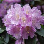 Rododendron Dora Weisbach
