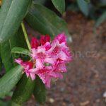 Rododendron Doria
