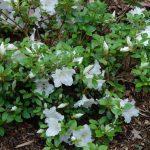 Rododendron Dorothy Hayden