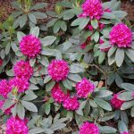 Rododendron Dr. Dresselhuys