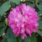 Rododendron Duque de San Lucar