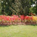 Zaštipování rododendronů