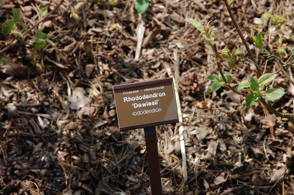 Výsadba rododendronů a azalek