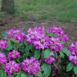 Stanoviště pro výsadbu rododendronů