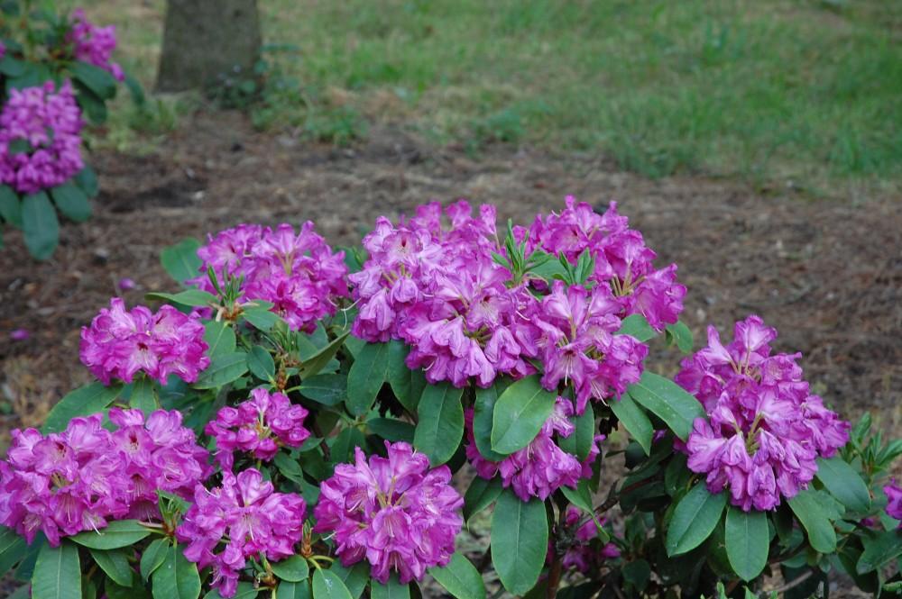 Stanoviště pro rododendrony