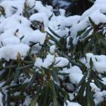 Rododendrony v zimě